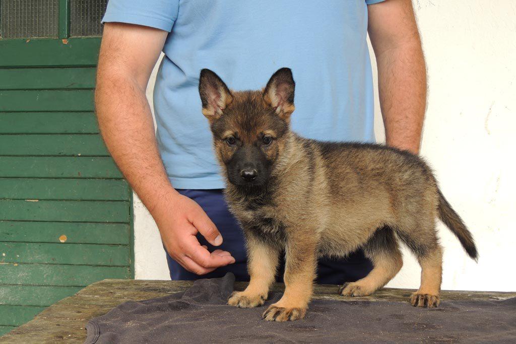 Štene, Dog Trainer Croatia